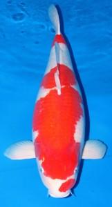 紅白00cm