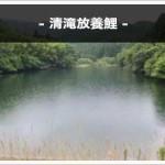 清滝放養鯉